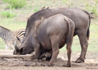 Buffalo kneeling with both Red and Yellow-billed Oxpeckers attached