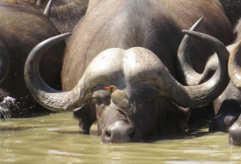 Buffalo with Yellow-billed Oxpecker