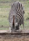 Zebra cross-legged